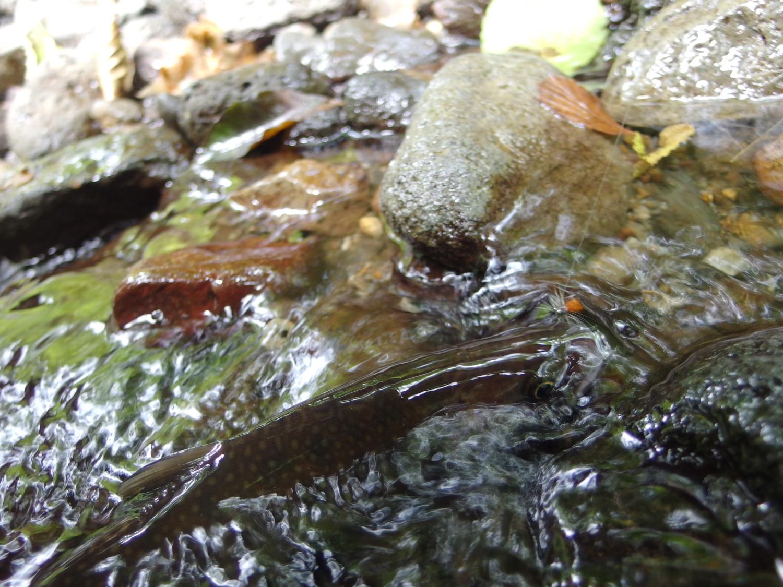 酷い渇水のせいか、苦戦しながらも岩魚釣りを楽しみました。