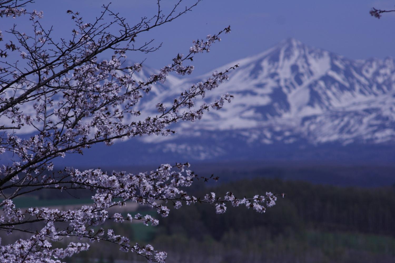 連休が明け、程なくして僕の暮らす地域でも桜が開花しました。