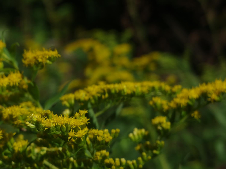 北海道に戻ると背高泡立ち草の花が咲き始めていました。 僕の好きな花。この花が咲き始めるともう秋の足音が聞こえてきます。