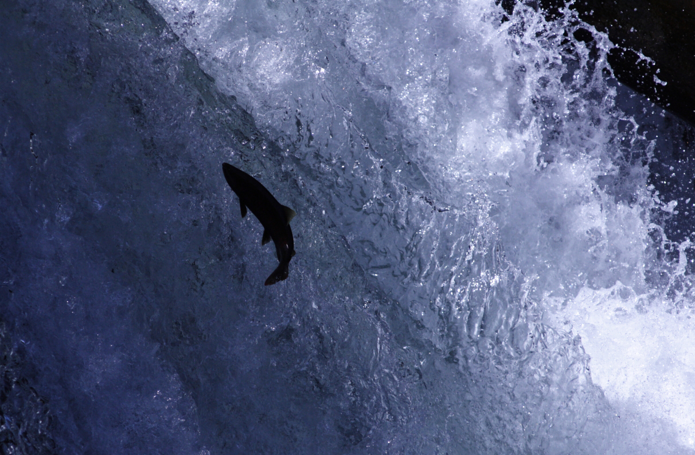 そして、桜鱒の遡上を観察しました。